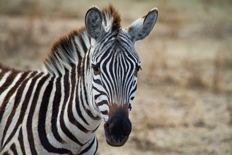 坦桑尼亚恩戈龙戈罗国家公园 免版税库存照片