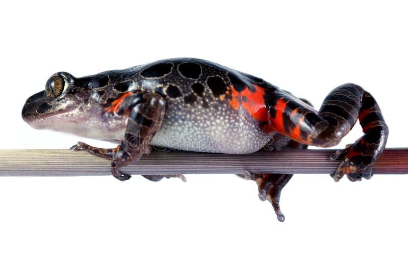 坦桑尼亚的老虎行程青蛙 免版税库存图片