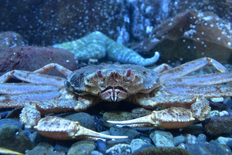 坦纳螃蟹 库存照片