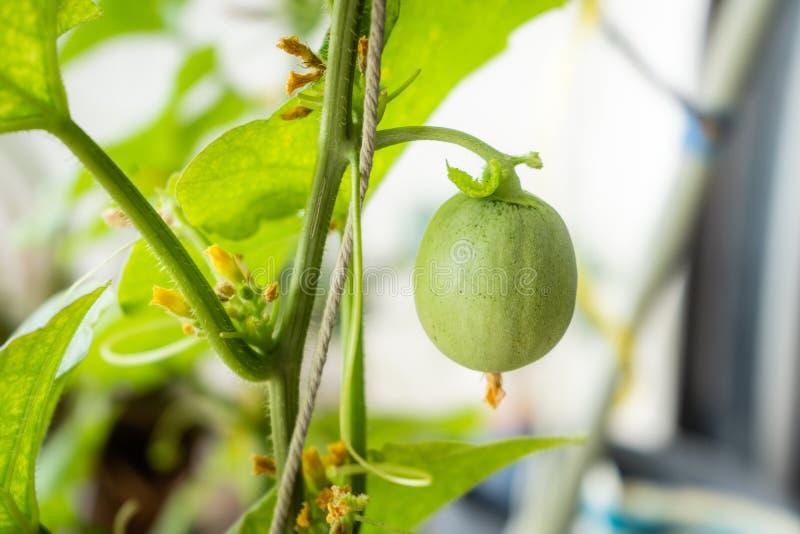 垂悬与在树的滤网的新鲜的甜瓜在种植园 免版税库存图片