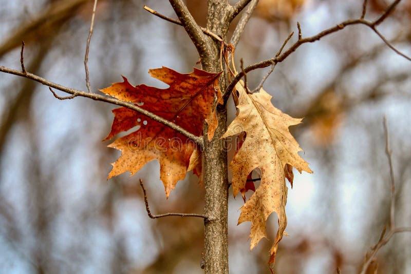 垂悬从一个树枝的两片橡木叶子特写镜头在森林在下午阳光下 免版税库存照片