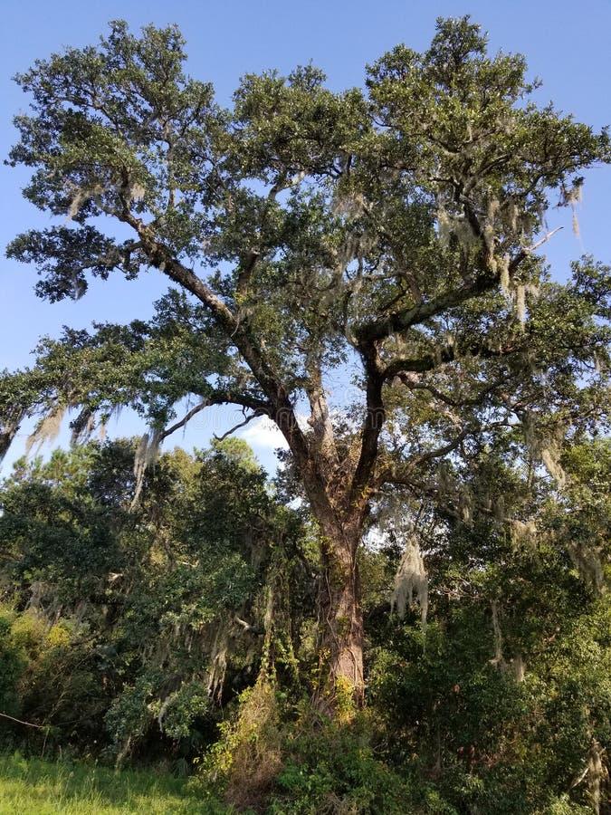 垂悬从一棵小橡树的寄生藤 图库摄影