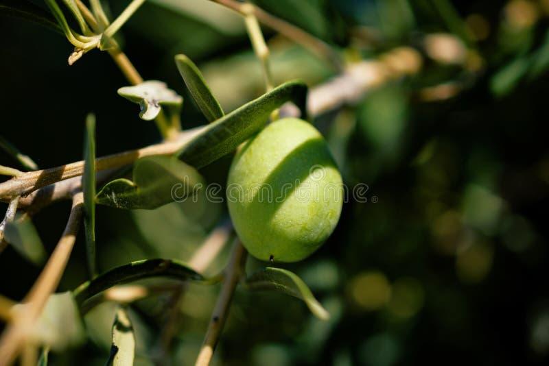 垂悬从分支的一个橄榄特写镜头在叶子旁边在日落期间 库存照片