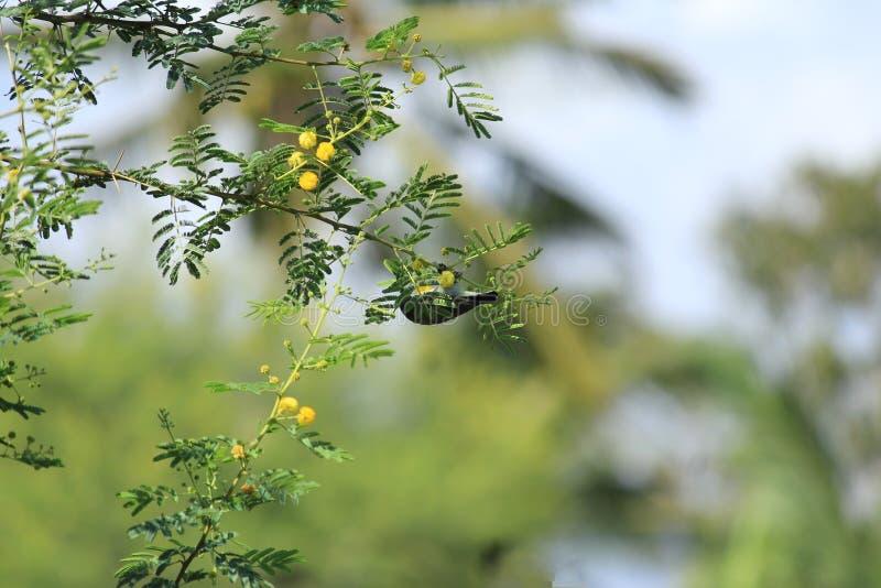 垂悬从树的嬉戏的鸟 免版税库存图片