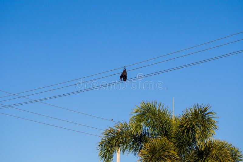 垂悬从电能缆绳的被触电致死的果实蝙蝠 免版税图库摄影