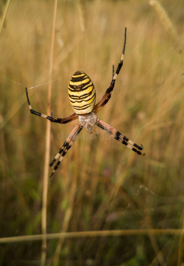 垂悬从网的黄蜂蜘蛛 免版税库存图片