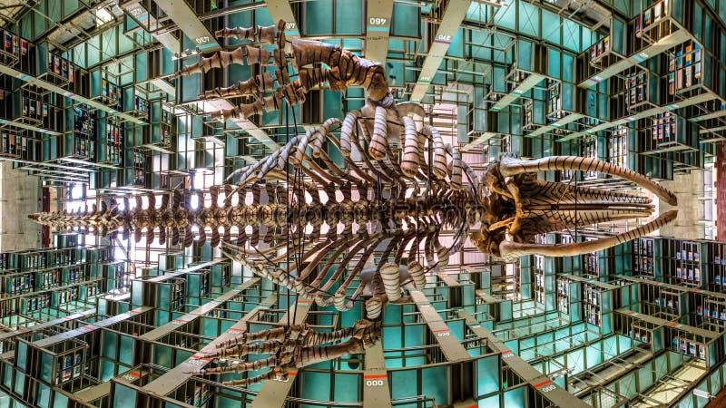 垂悬从Biblioteca Vasconcelos的天花板的白鲸骨骼的一幅全景在墨西哥城 库存照片