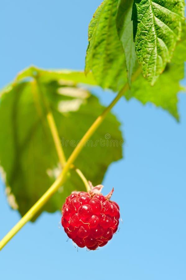 垂悬反对天空的唯一,成熟莓 免版税库存图片