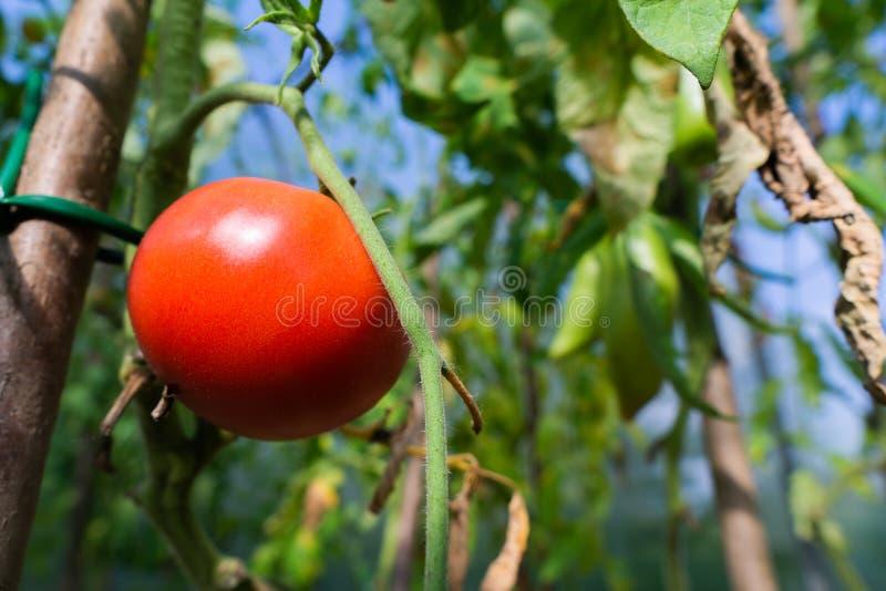 垂悬在一个分支的红色成熟蕃茄在庭院里在夏天 免版税库存照片