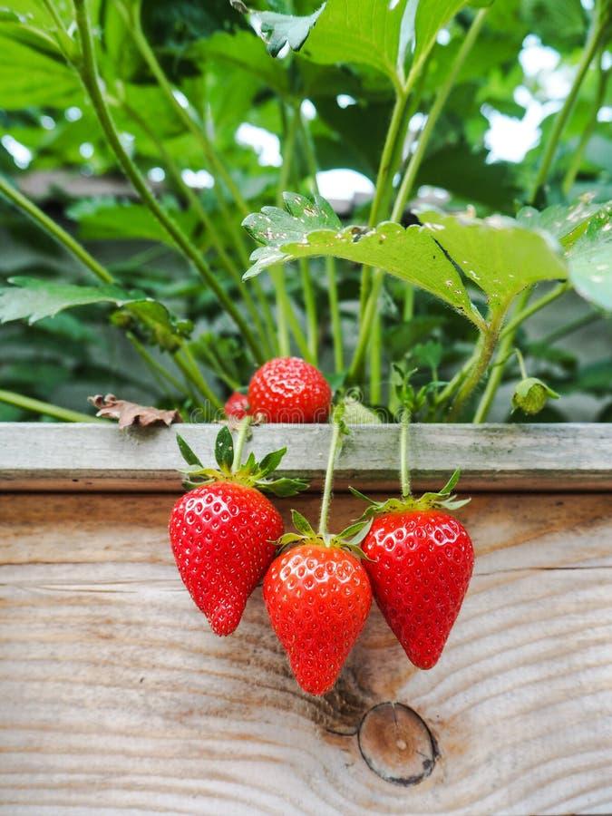 垂悬在一个木制框架的边缘的成熟红色草莓 免版税库存图片
