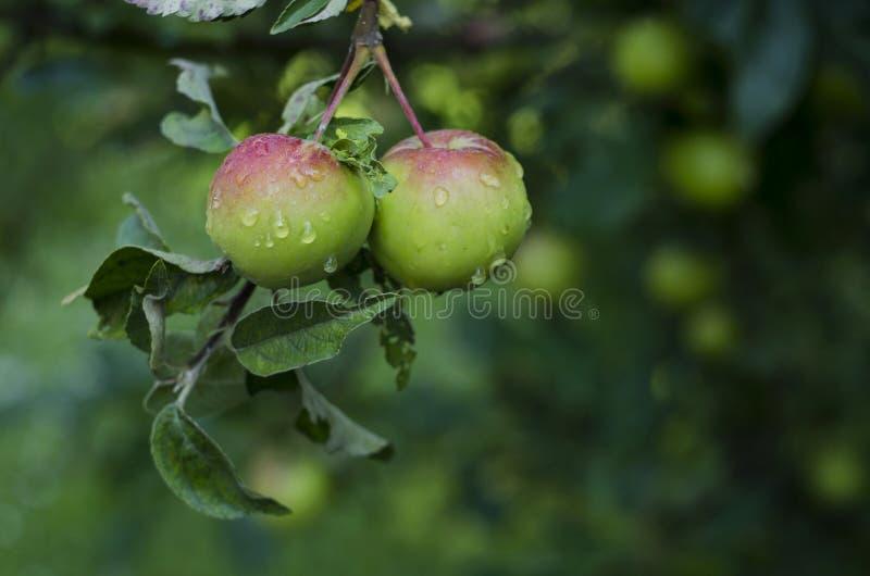 垂悬在一个树枝的两个水多的红色绿色苹果在有用水盖的叶子的庭院在雨以后滴下 免版税库存照片