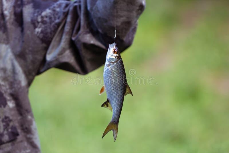 垂悬在一个绿色背景特写镜头的一个勾子的鱼小蟑螂 渔夫捉住了鱼雅罗鱼,rutilus ? 免版税库存图片