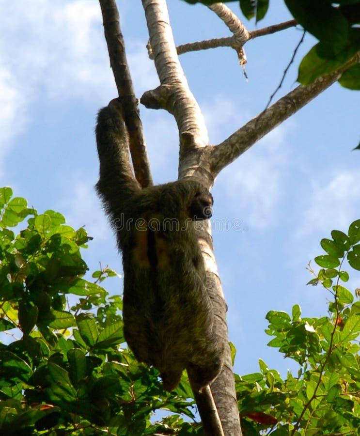 垂悬在一棵树的怠惰在哥斯达黎加 库存图片