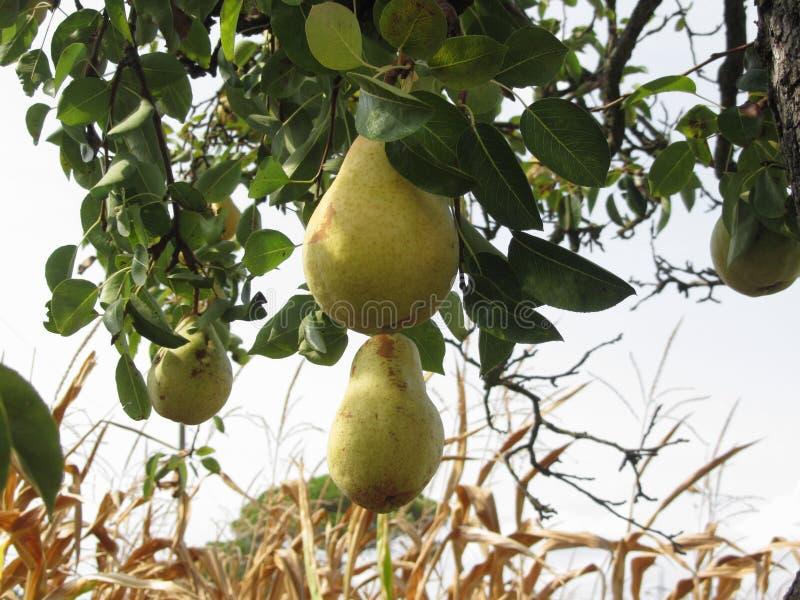 垂悬在一棵生长洋梨树的成熟黄色梨 意大利托斯卡纳 免版税库存图片