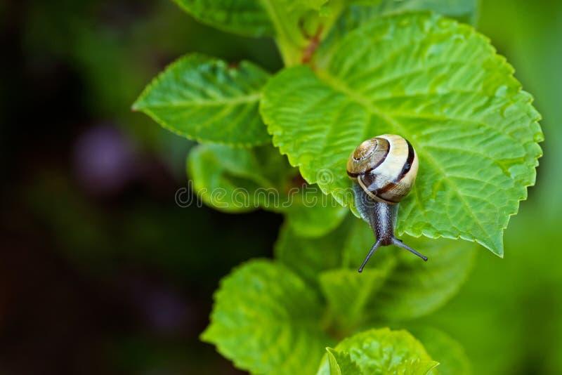 垂悬在一片绿色叶子的蜗牛 免版税库存照片