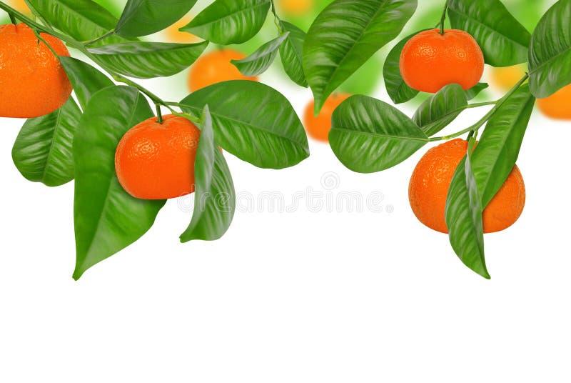 垂悬在中国柑桔树的普通话 库存图片