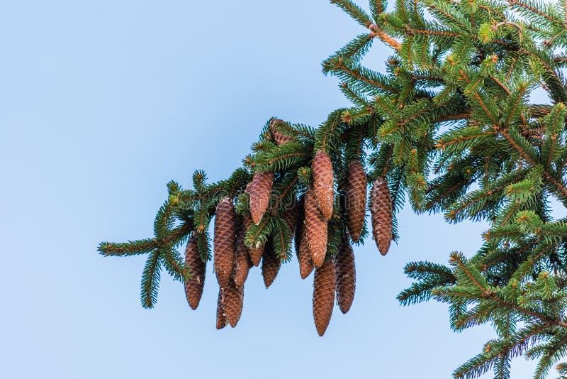 垂悬在分支的云杉的锥体 库存照片