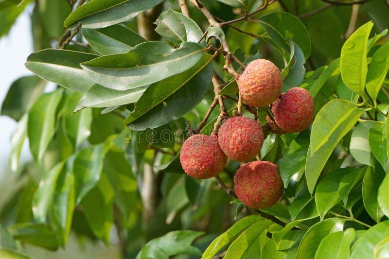垂悬在分支的新鲜的lychee果子在果树园 库存图片