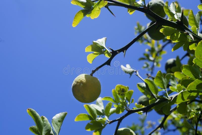 垂悬在分支的未成熟的日本柠檬 库存照片