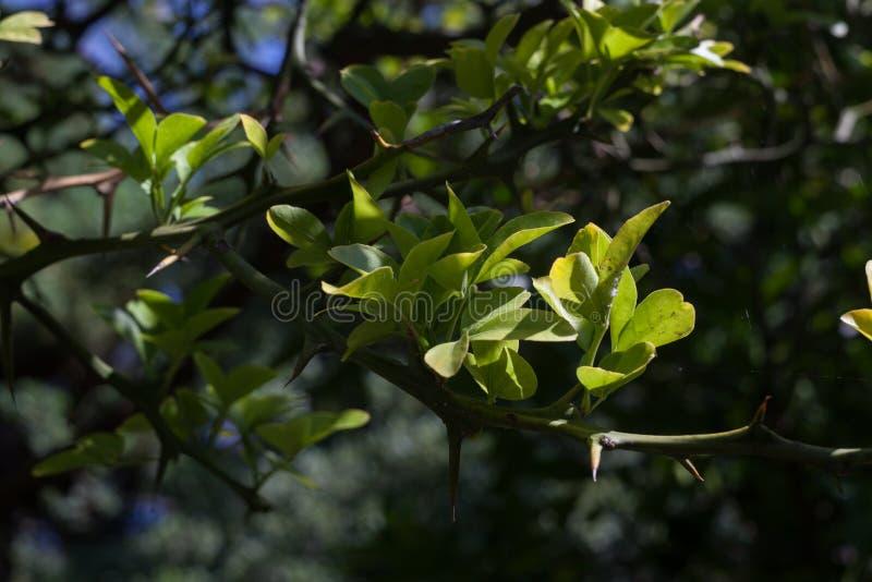 垂悬在分支的未成熟的日本柠檬 免版税库存照片