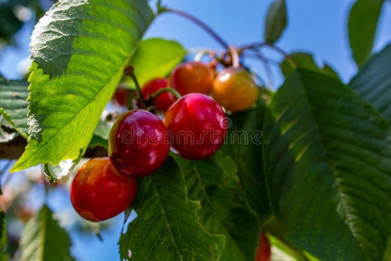 垂悬在分支的红色甜樱桃 库存图片