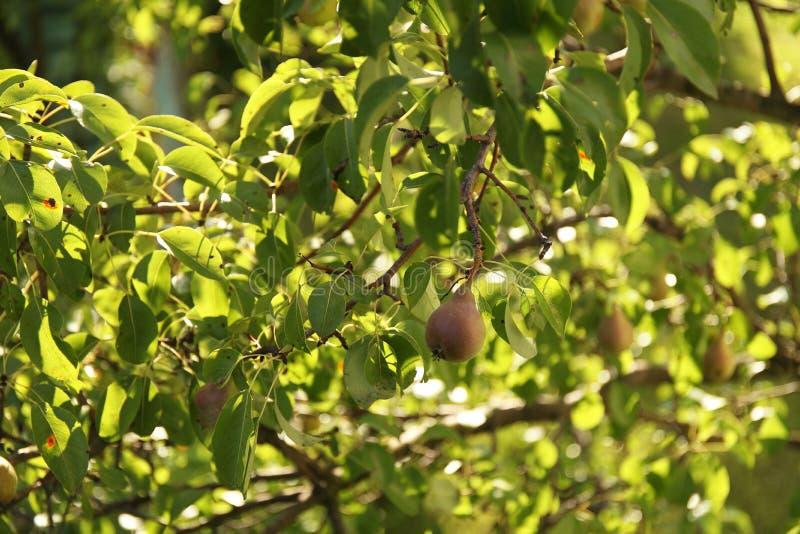 垂悬在夏天果子的树枝的鲜美水多的年轻梨从事园艺作为自然背景的健康有机概念 免版税库存照片