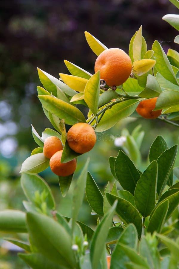 垂悬在布什,意大利的有些普通话(柑橘reticulata) 库存图片