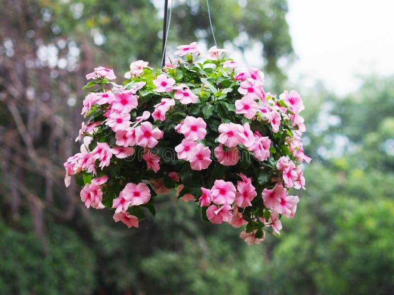 垂悬在庭院里的桃红色荔枝螺花花盆  免版税库存图片