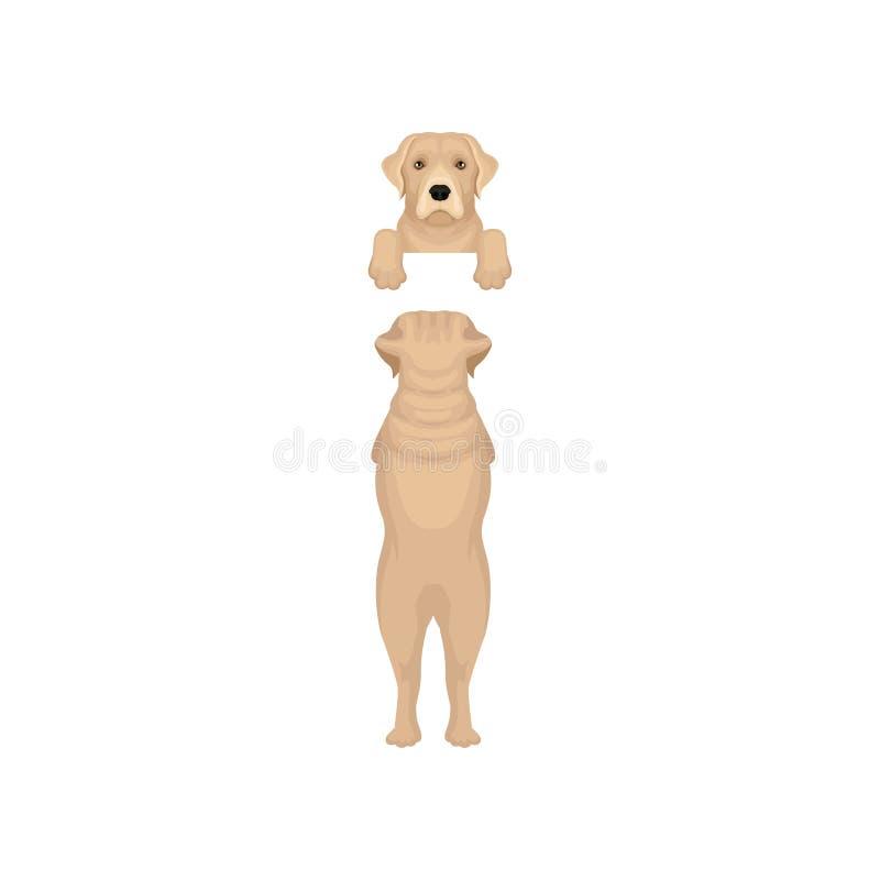 垂悬在无形的边界的可爱的拉布拉多猎犬 箝制偷看从篱芭和充分的身体后面看法  平面 库存例证