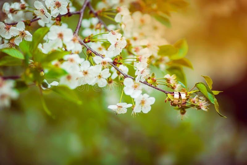 垂悬在春天开花的树的分支的两个金婚圆环特写镜头与白花的在太阳的光芒 免版税库存照片