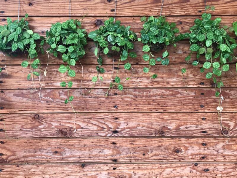 垂悬在木墙板、背景和textu的绿色爬行物 免版税库存照片