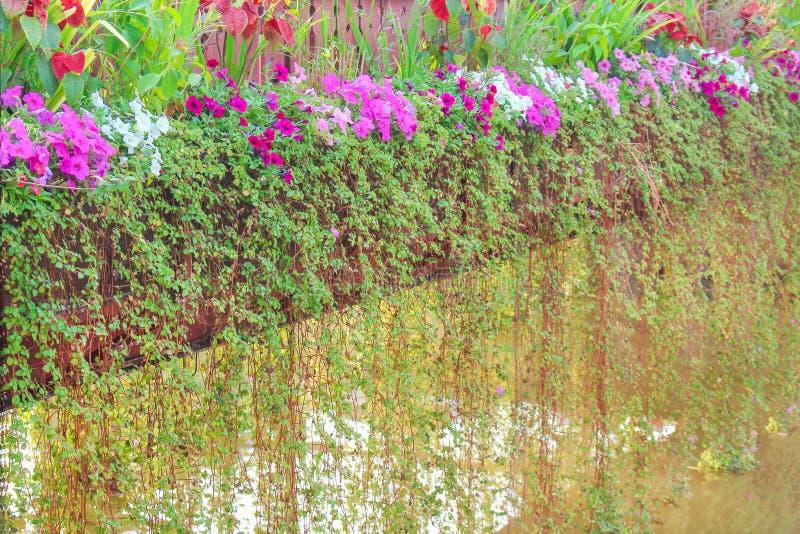 垂悬在木桥梁的园林植物绿色常春藤对与五颜六色的喇叭花花的水在背景 免版税库存图片