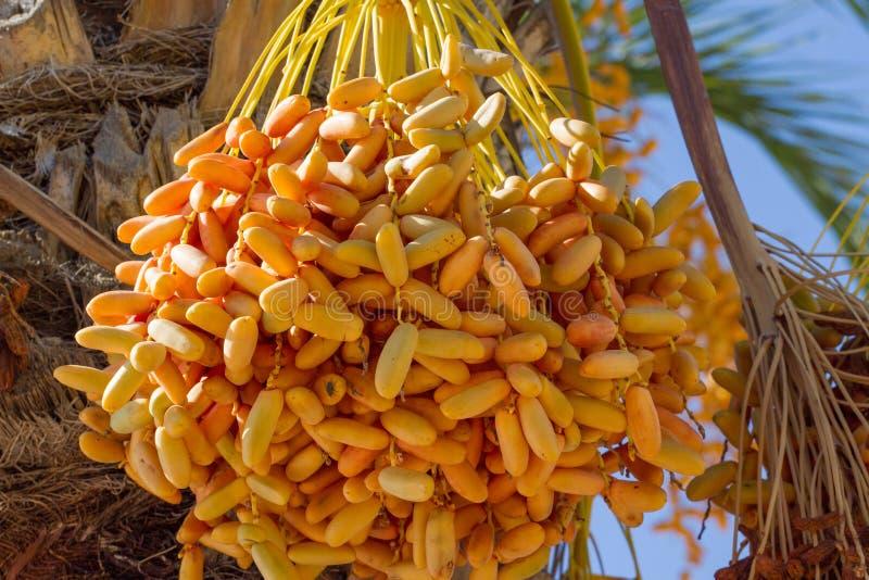 垂悬在枣椰子的未成熟的日期群 收获 库存照片