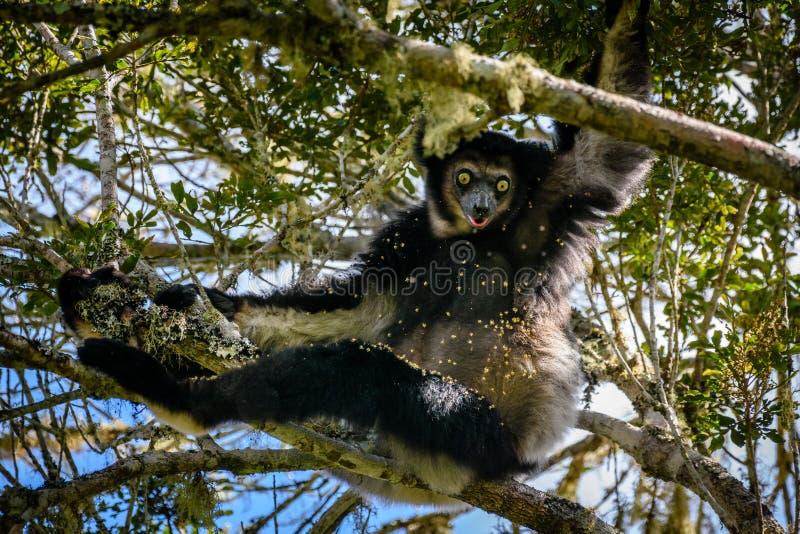 垂悬在树木天棚的Indri狐猴看我们 免版税库存图片