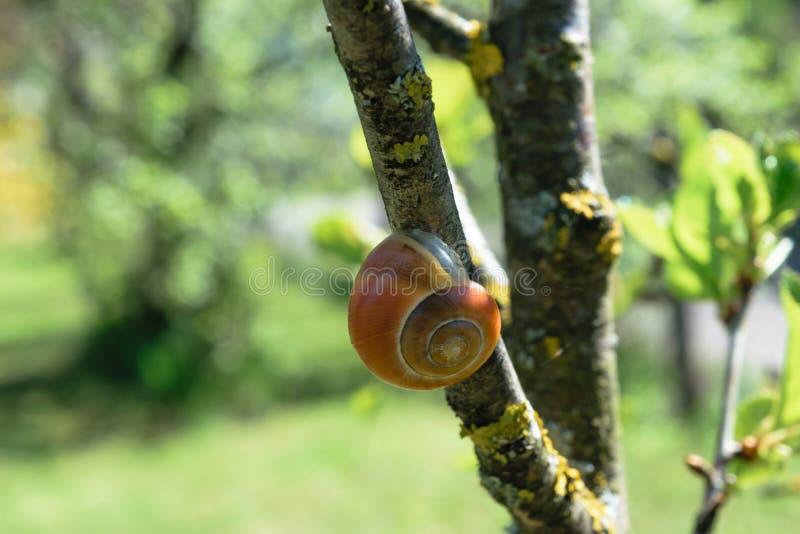 垂悬在树枝的布朗蜗牛在春天早晨 图库摄影