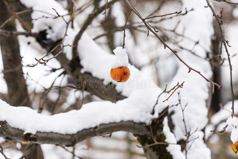 垂悬在树的冷冻积雪的苹果 图库摄影
