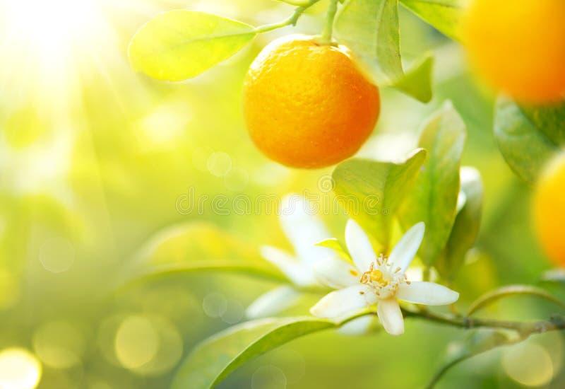 垂悬在树的成熟桔子或蜜桔 图库摄影