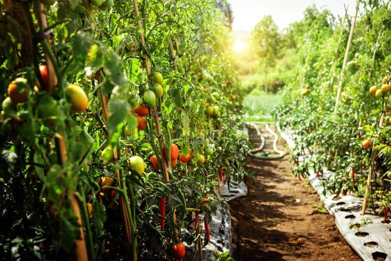 垂悬在树的新鲜的蕃茄分支在有机农场,巴厘岛 有机蕃茄种植园 免版税库存图片