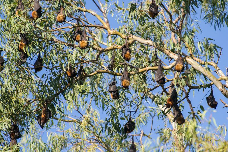 垂悬在树的更加伟大的印度果实蝙蝠或印度果蝠 库存照片