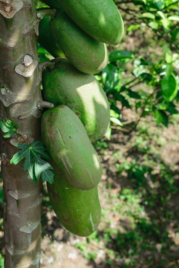 垂悬在树的未成熟的绿色番木瓜果子 免版税库存照片