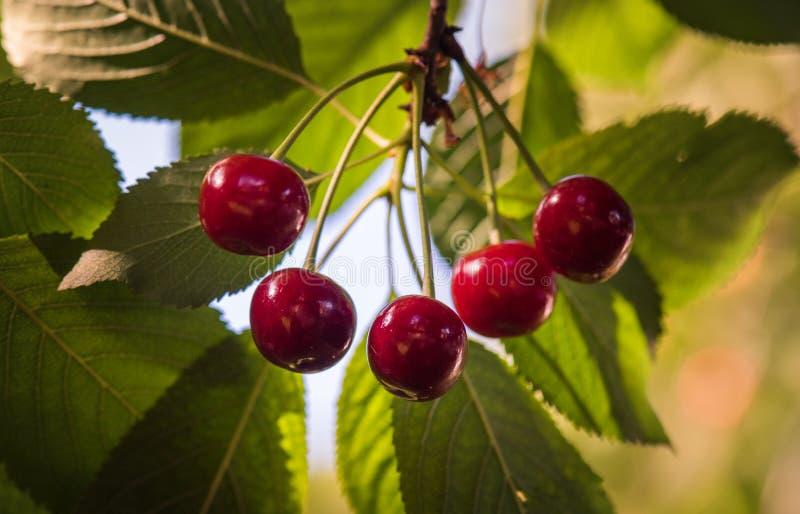 垂悬在树的束成熟欧洲酸樱桃 免版税库存照片