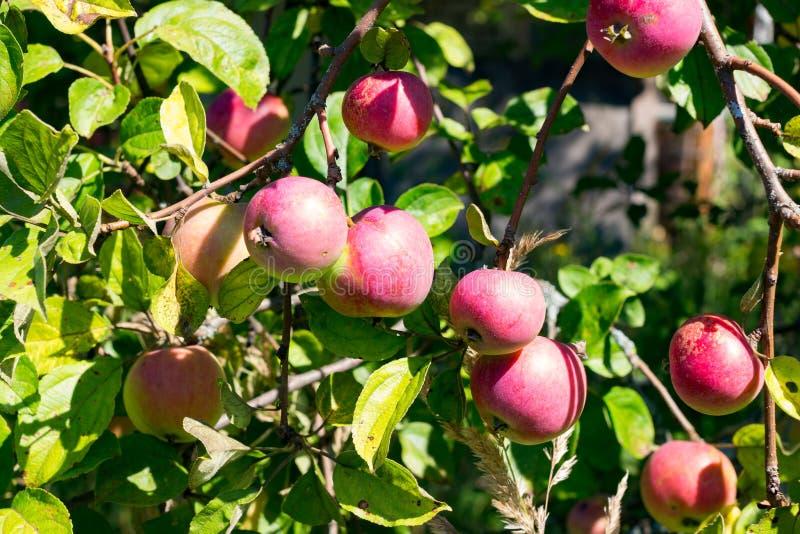 垂悬在树的许多红色苹果 免版税库存图片