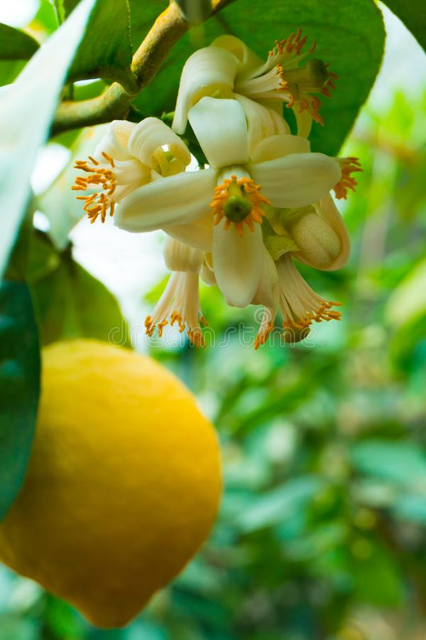 垂悬在树的黄色柠檬 免版税库存图片