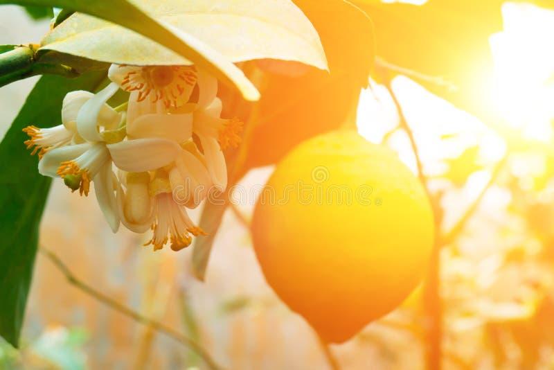 垂悬在树的黄色柠檬 库存照片