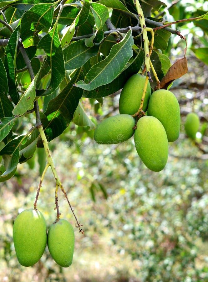 垂悬在树的绿色芒果 免版税图库摄影