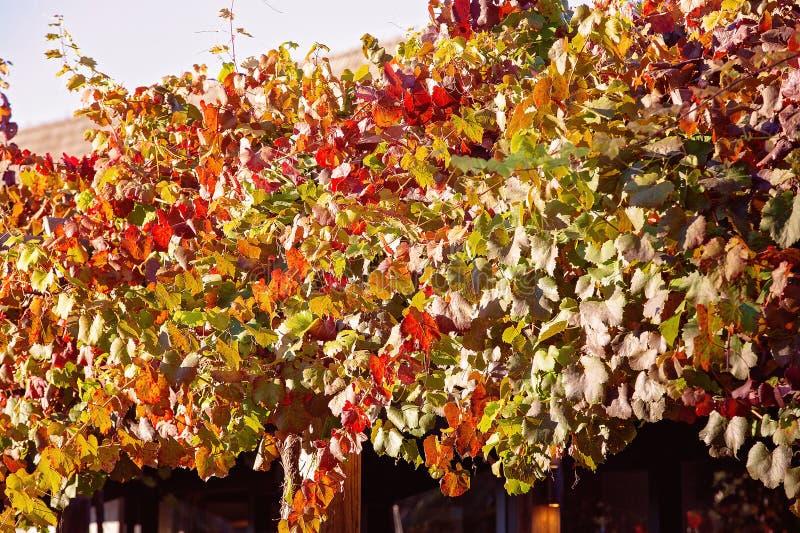 垂悬在格子的葡萄树 免版税图库摄影