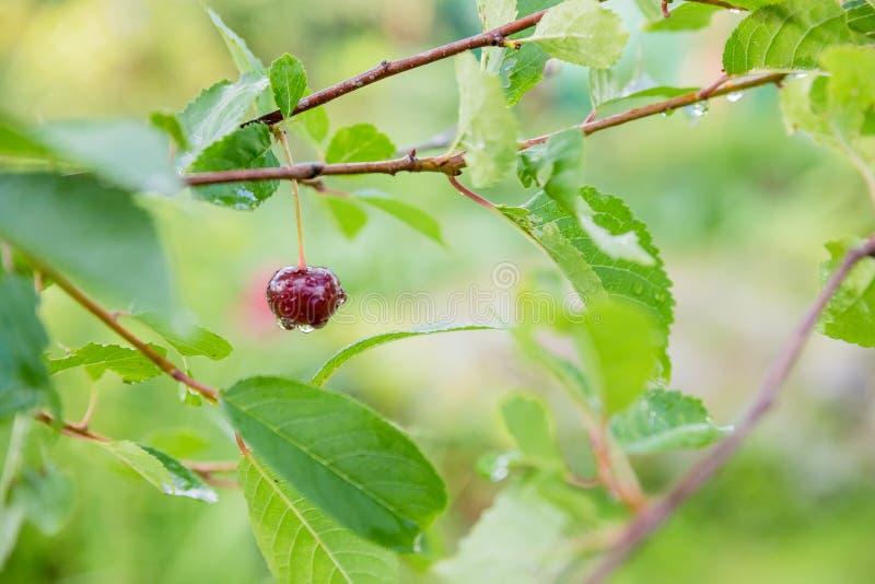 垂悬在樱桃树的成熟损坏的红色樱桃在夏天 在雨以后的成熟红色樱桃在庭院里 与下落的莓果 库存照片