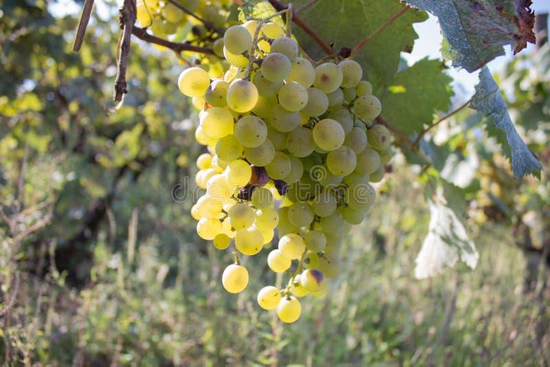 垂悬在灌木的白葡萄在一晴朗的美好的天 手工制造葡萄收获细节在英王乔治一世至三世时期葡萄园里 库存图片