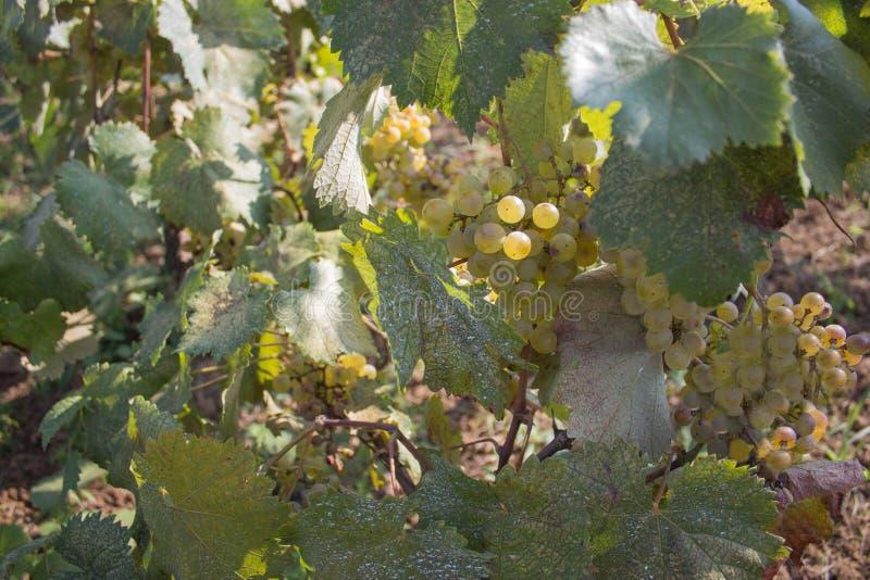 垂悬在灌木的白葡萄在一晴朗的美好的天 手工制造葡萄收获细节在英王乔治一世至三世时期葡萄园里 库存照片