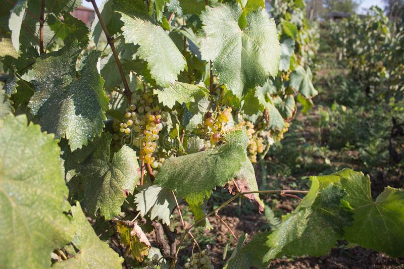 垂悬在灌木的白葡萄在一晴朗的美好的天 手工制造葡萄收获细节在英王乔治一世至三世时期葡萄园里 图库摄影